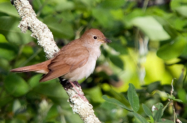 Young Nightingale at Chateau de Gurat